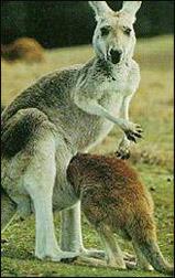 "Kangaroo Mother Care – Why ""kangaroo""?"